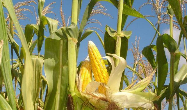 Выращивание кукурузы на початки 47