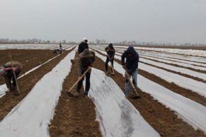 На юге страны стартовала посадка капусты