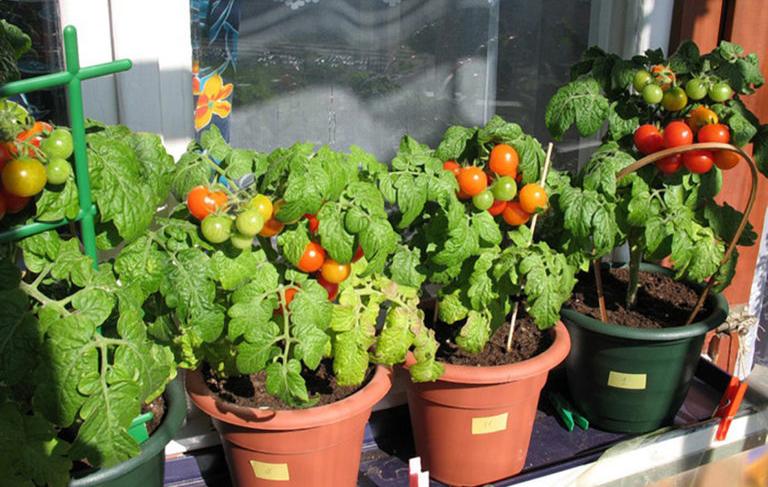 Выращивание помидоров и огурцов дома