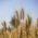 [:ru]Ячмень: особенности выращивания в Казахстане[:kk]Арпа: Қазақстанда өсірудің ерекшеліктері[:]